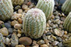 Echinocereus rigidissimus v. rubrispinus L 088