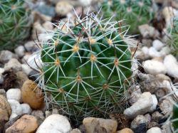 Echinofossulocactus crispatus, Zempoala, Qro