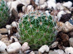 Echinofossulocactus erectocentrus DJF 758.38