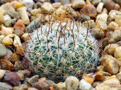 Echinofossulocactus erectocentrus JS 36