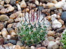 Echinofossulocactus erectocentrus MK 121.391