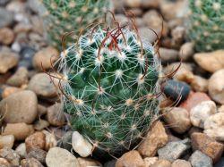 Echinofossulocactus erectocentrus SB 1041