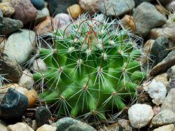 Echinofossulocactus erectocentrus SB 268