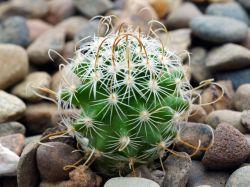 Echinofossulocactus lancifer