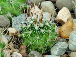Echinofossulocactus pentacanthus VZD 756
