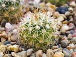 Echinofossulocactus phyllacanthus v. violaciflorus