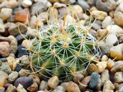 Echinofossulocactus phyllacanthus v. violaciflorus SB 438