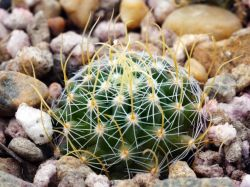 Echinofossulocactus sp. CH 238