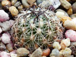 Echinofossulocactus sp. CSD 019