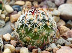 Echinofossulocactus sp. CSD 310