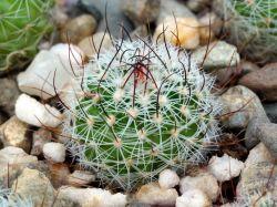 Echinofossulocactus zacatecasensis SB 492