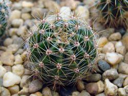Echinopsis adolfofriedrichii LB 85