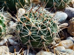 Echinopsis ancistrophora TB 0418.1