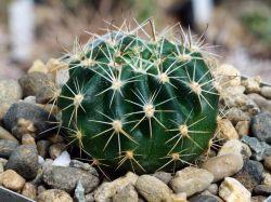 Echinopsis ancistrophora WR 237