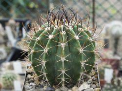 Echinopsis leucantha VG 299