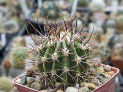 Echinopsis leucantha VG 383