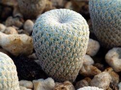Epithelantha micromeris v. rufispina