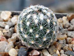 Escobaria vivipara v. desertii RP 47