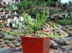 Euphorbia caput-medusae
