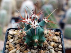 Ferocactus emoryi RUS 164