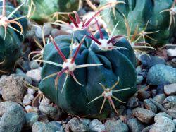 Ferocactus latispinus PP 1206