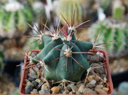 Ferocactus rectispinus SB 1700