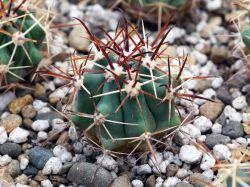 Ferocactus santamaria DJF 44.37