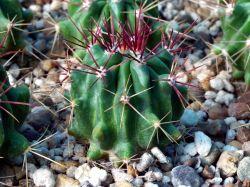 Ferocactus steinesii v. pilosus PP 594