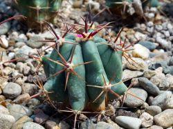 Ferocactus townsendianus RUS 131