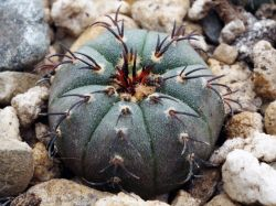 Frailea asterioides form
