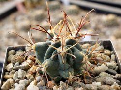 Glandulicactus uncinatus VM 348
