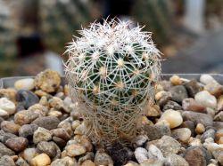 Gymnocactus beguinii CSD 152