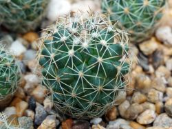 Gymnocactus saueri ssp. nellisae PP 462