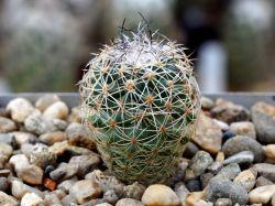 Gymnocactus saueri v. verduzcoi MZ 656
