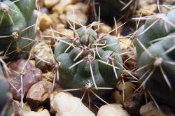Gymnocalycium baldianum P 127