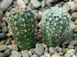 Gymnocalycium bruchii ssp. lacumbrense HGR 43