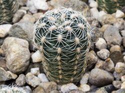 Gymnocalycium bruchii ssp. lafaldense VG 335