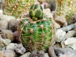 Gymnocalycium bruchii ssp. melojeri VG 272