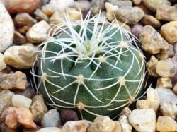 Gymnocalycium gertii ssp. evelyniae VG 1170