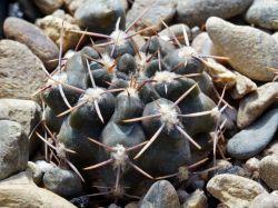 Gymnocalycium gibbosum ssp. ferox f. nobile HNS 281