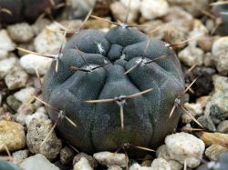 Gymnocalycium gibbosum ssp. radekii JPR 92-70/157