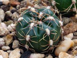 Gymnocalycium hyptiacanthum ssp. netrelianum Schl 126