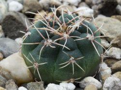 Gymnocalycium kroenleinii ssp. funettae JPR 09-113