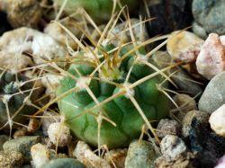 Gymnocalycium rhodantherum VG 223