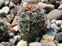 Gymnocalycium sutterianum ssp. lepidum VG 263