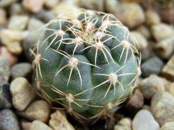 Gymnocalycium walteri GN 0376-1270