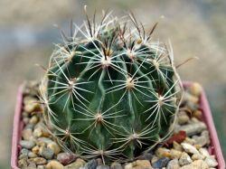 Hamatocactus setispinus LX 666