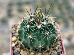 Hamatocactus setispinus v. hamatus SB 858