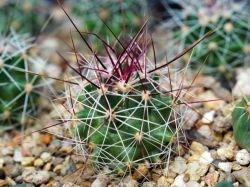 Hamatocactus sp. LES 124h