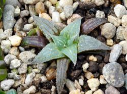 Haworthia magnifica v. acuminata GM 310